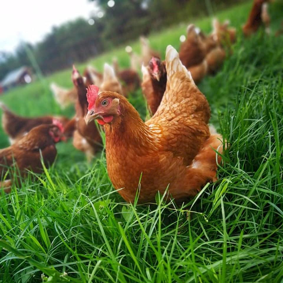 Hühner auf dem Hof Fiefhaus in Neuenkirchen