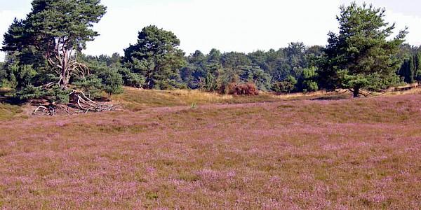 Die Westruper Heide blüht